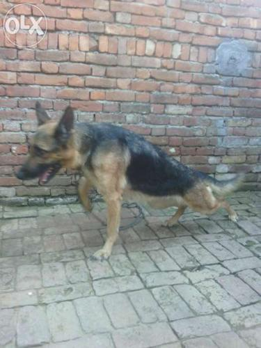 Gsd female avelavle excilent hight and lanth