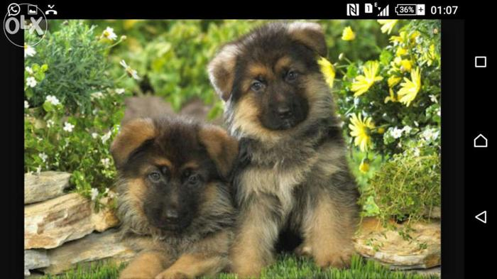 Gsd puppies for adoption at saurabh kennel. Dog food