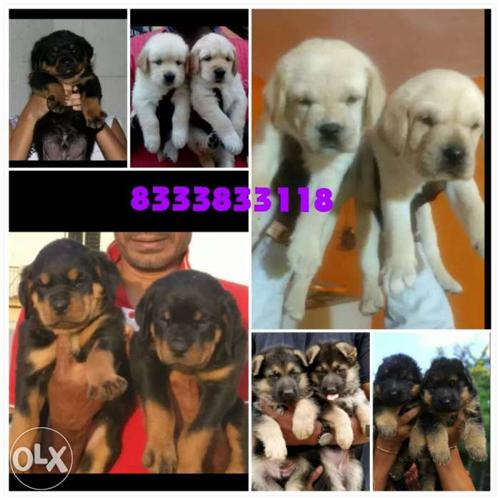 Heavy bone weight and top quality puppies are available