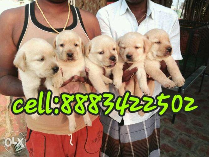 High breed pure orginal breed labrador male and