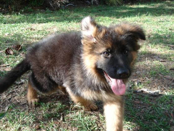 High Quality Double Bush Coat Long Hair German Shepherd