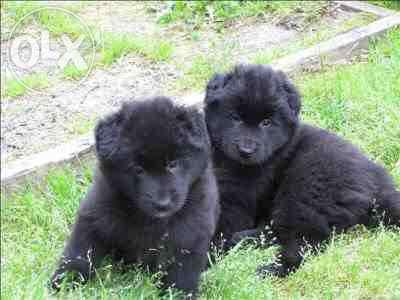 High Quality Pure Black Belgian Shepherd Puppy For Sale In