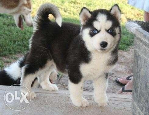 Honey Blue Eyes Siberian Husky Puppies For Sale In Kozhikode