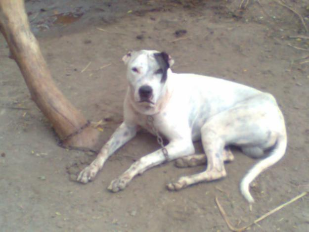 Bully Dog Sale In Punjab India