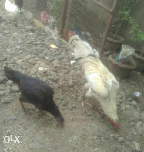 I want to sell ASEEL Pair (Joda) Murga or Murgi for Sale in Achalpur