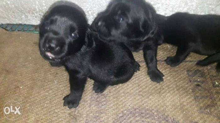 I want to sell my female lab pyuupy the pyuupy is