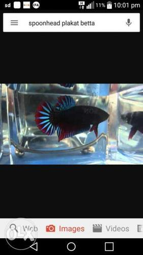 Imported Giant Boxing Plakat Betta Fishes for Sale in