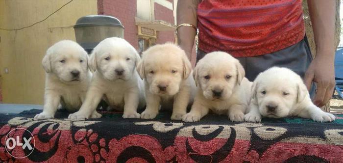 Indirapuram pet shop...labrador hi labrador puppies