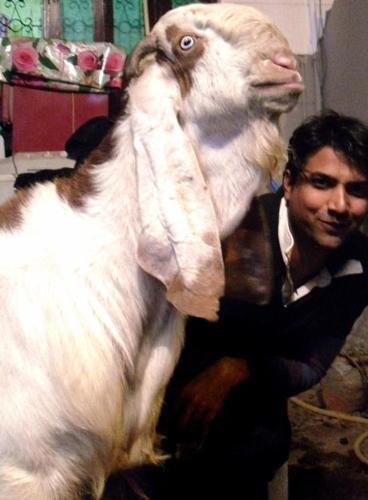 Jamnapari big goat