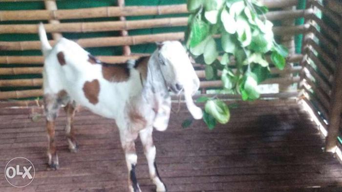 Jamunapari cross goats for Sale in Kollam, Kerala Classified