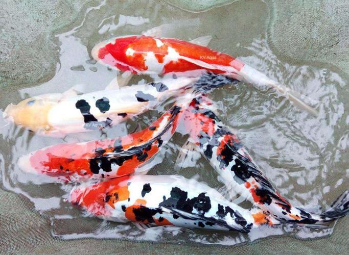 Japanese Koi Carp Fish Babies For Sale In Chavakkad Kerala Classified Indialisted Com