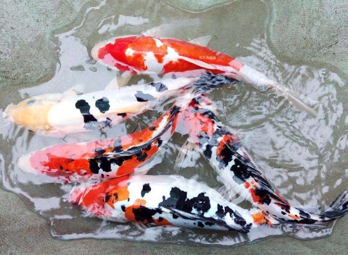Japanese Carp Fish | Japanese Koi Carp Fish Babies For Sale In Chavakkad Kerala