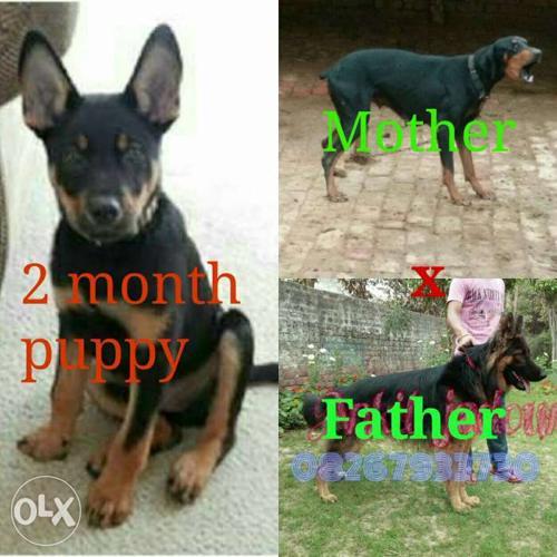 Jermanshefard and doberman mix pupy 3 month