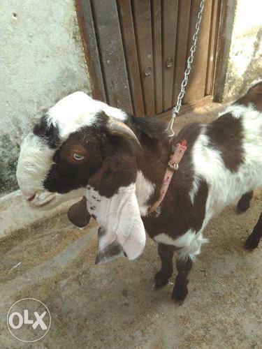 Olx Goat