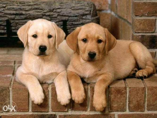 KCI Lab male and female pups