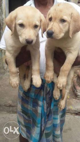 Laboratories both of female puppys