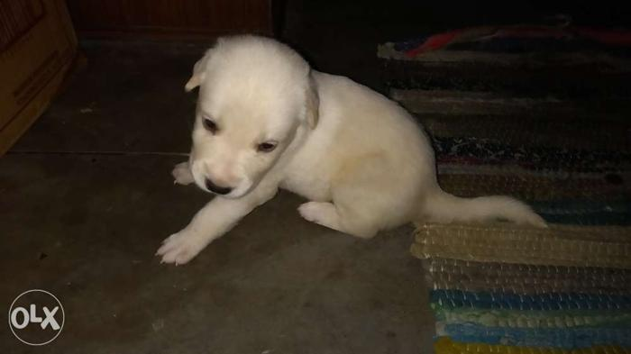 Labrador 25 days old puppy, pure breed, for Sale in