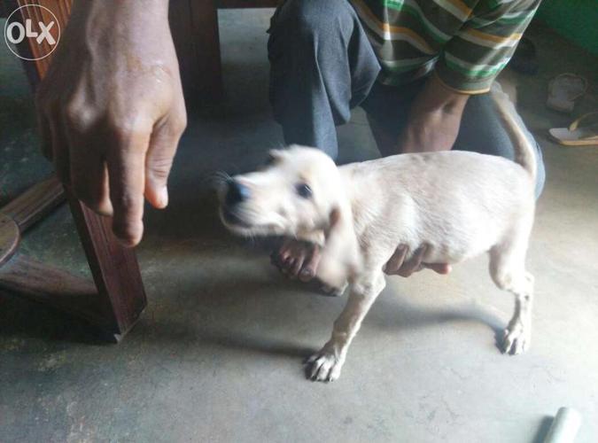 Labrador female for Sale in Tuticorin, Tamil Nadu Classified