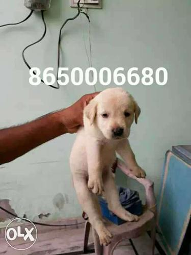 Labrador female puppy available in pure quality .