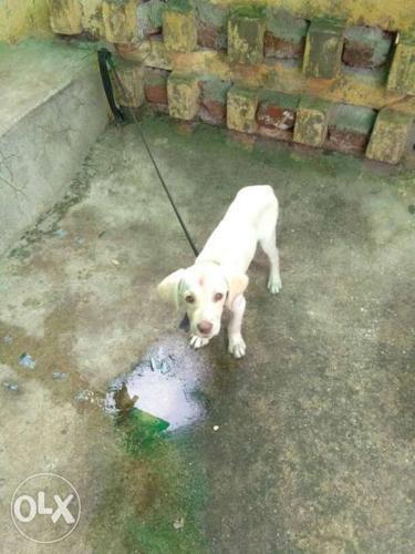 Light Cream Labrador3month Retriever Puppy