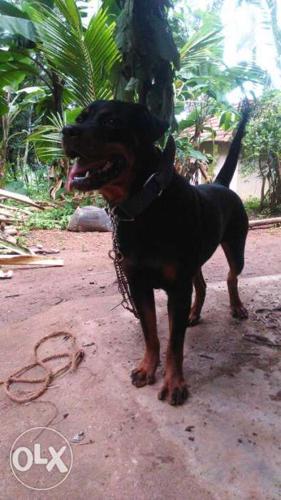 Mahogany Rottweiler Dog