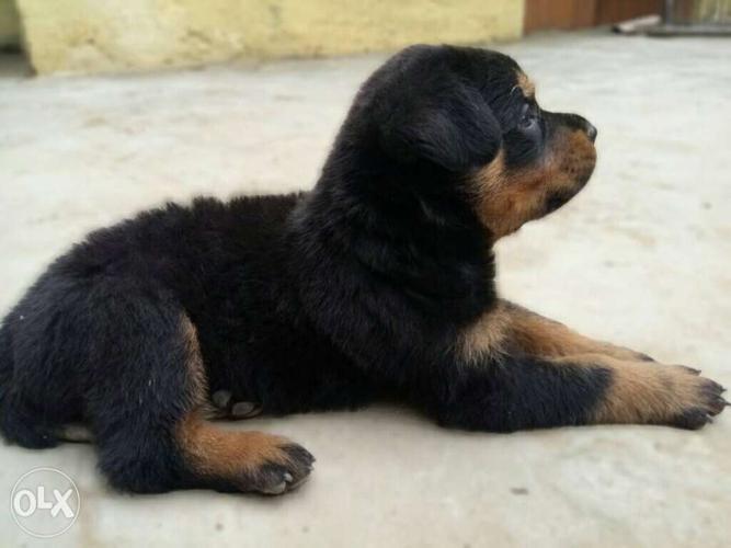 Mahogany Rottweiler Puppy