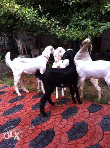 Malabari male goat Young and older for Sale in Chavakkad, Kerala