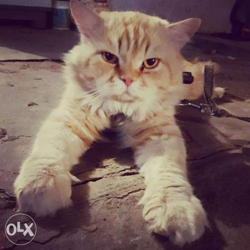 Male cat for meating not for sale