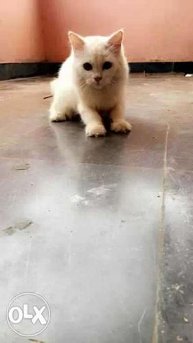 Male persion cat want to sell cal me its urgent
