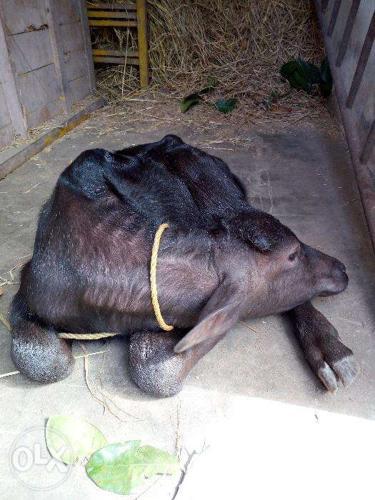 Murrah cow with calf for Sale in Mukundapuram, Kerala