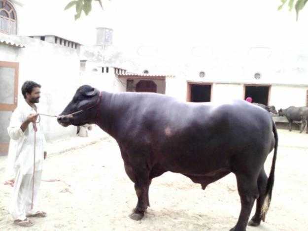 murrha bull semen