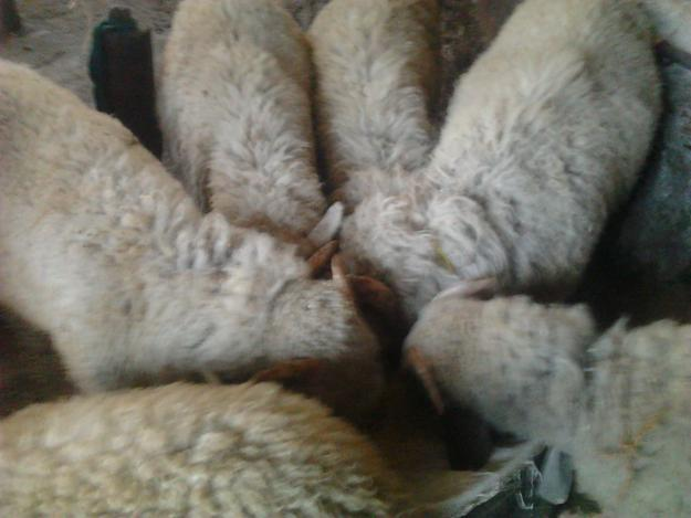 NEWLY ARRIVAL VILAYATI SHEEP KIDS FOR SALE
