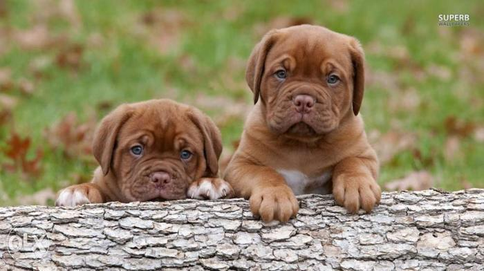 Original Approved French Mastiff Puppies Available
