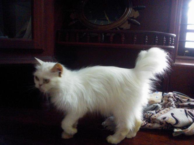 White Persian Cat Price In India