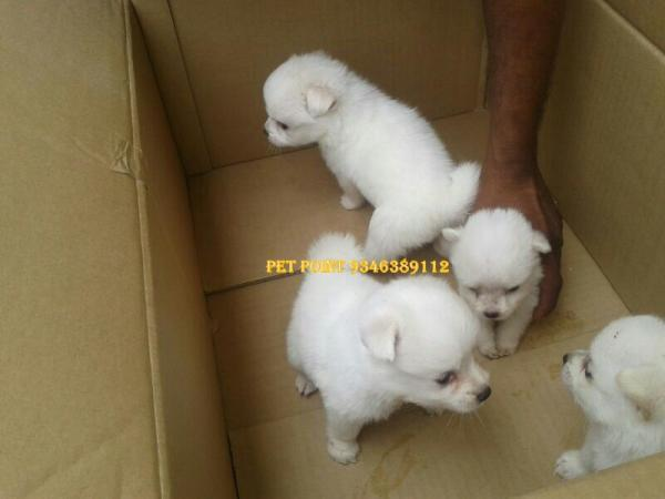 Pet Point Offers Snow White Pomeranian Puppies Hyderabad For Sale