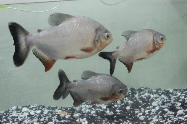 Piranha (Pacu) fish for sale for Sale in Petlad, Gujarat Classified