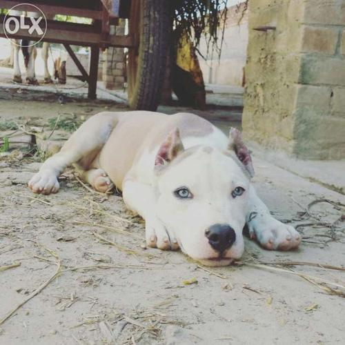 Pitbull dog little for Sale in Patiala, Punjab Classified