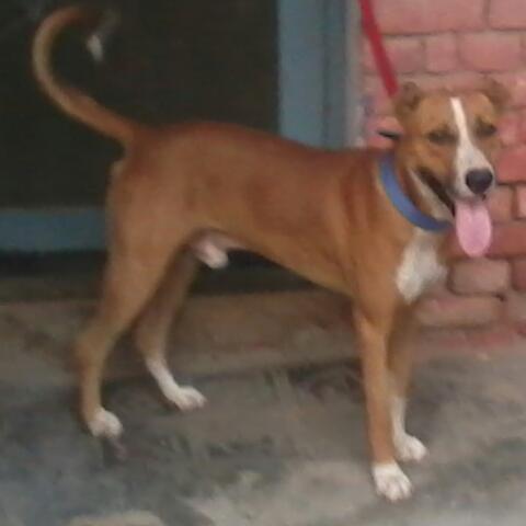 pitbull mix bully dog for Sale in Faridkot, Punjab Classified
