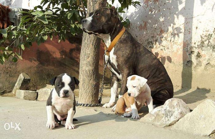 Pitbull Pups For Sale India best pitbull line for Sale in