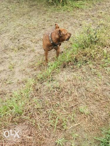 Pittbull Brown Dog