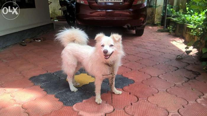 Pomeranian Male Dog 6 Years Tripunithura Ernakulam For Sale In