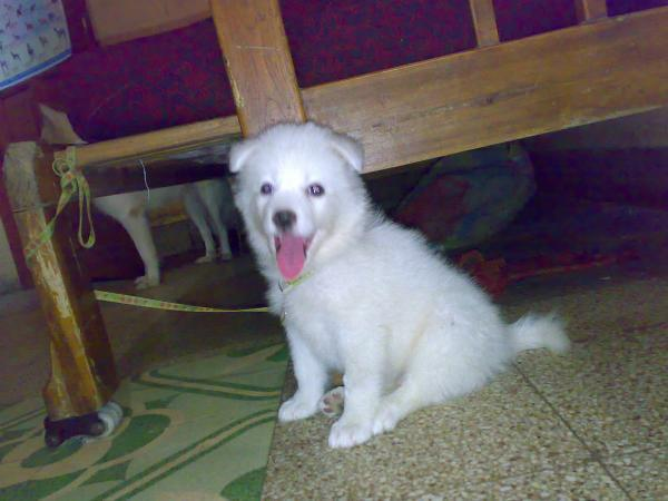 pomeranian puppies for Sale in Nagpur, Maharashtra Classified