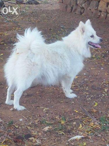 Pomeranian puppy for sales  Pure white  Soo cute  for Sale in Erode