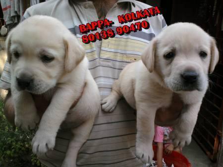 Puppies For Sale At Kolkata Labrador Friends Kennel Kolkata
