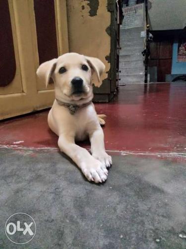Pure bloodline chocolate colour female lab puppy