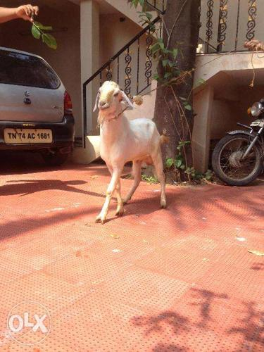 Pure Malabari/Thalassery Male goat for sale for Sale in