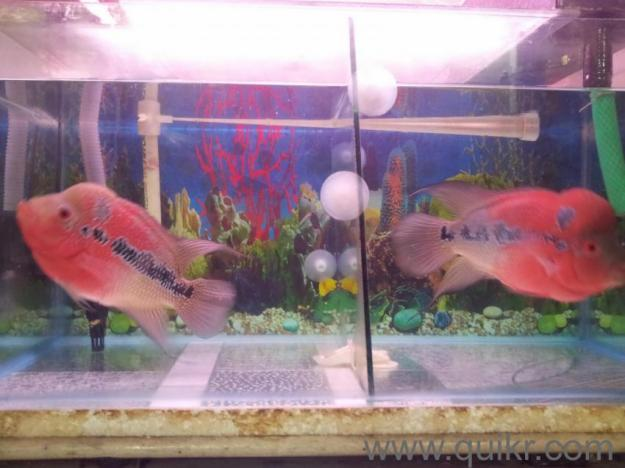 Purebreed flowerhorn fish red dragon for 17000 for sale in for Flower horn fish price