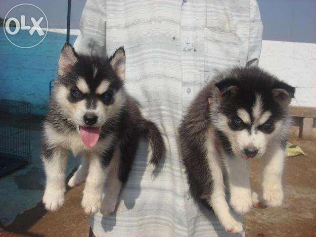 Quality Pure Breed Siberian Husky Pups Available For Sale In Kochi