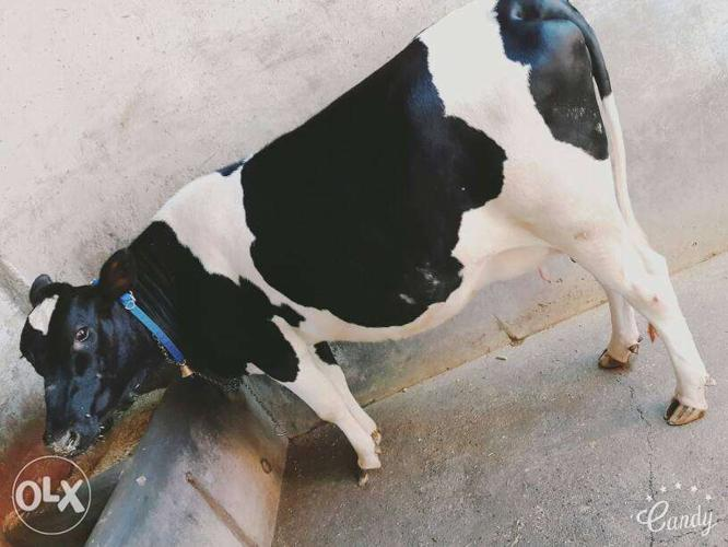 Qureshi dairy farm best cows and buffalo's supply in all
