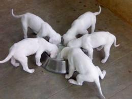 Rajapalayam dogs for sale